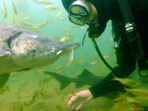 Im Unterwasserpark gibt es über 2 m lange Störe