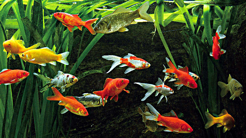Was tun bei fisch problemen fischteiche for Fische in teichen