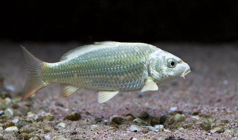 Die fische kaltwasser aquarium for Aquarium fische im gartenteich