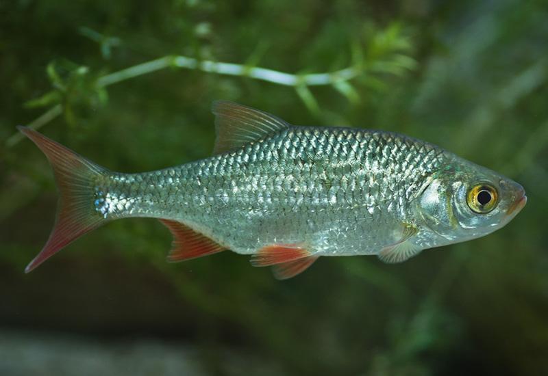 Die fische kaltwasser aquarium for Rotfeder gartenteich