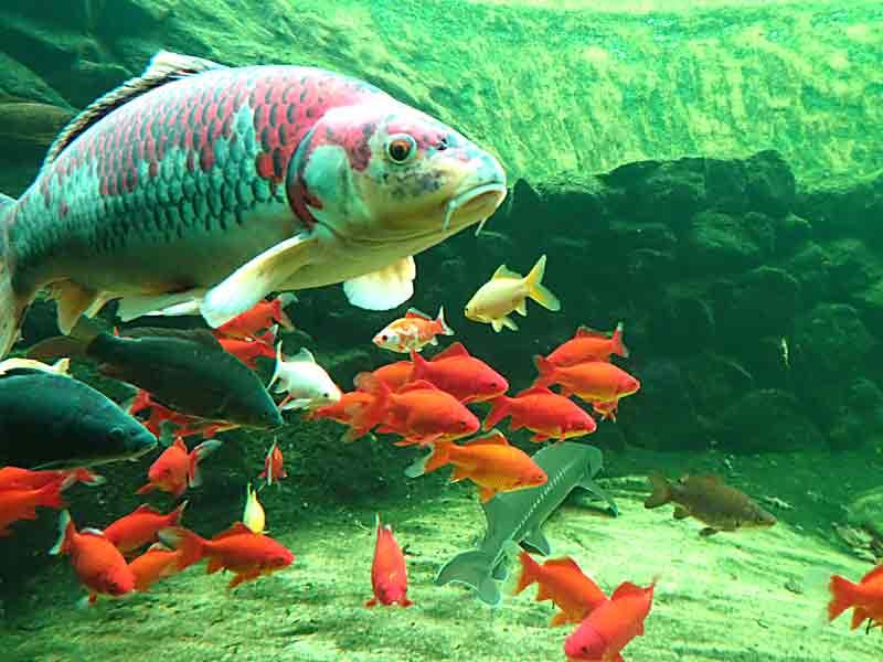 Candle light dinner im naturagart aquarium for Bunte goldfische