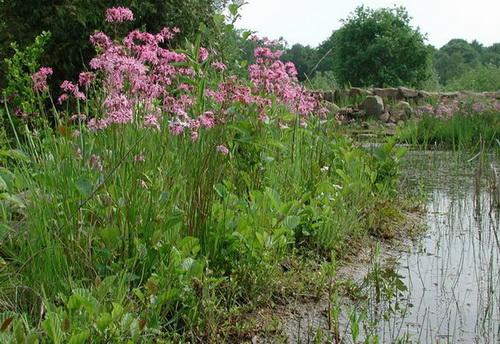 Beispiel: Wildblumen-Teichufer