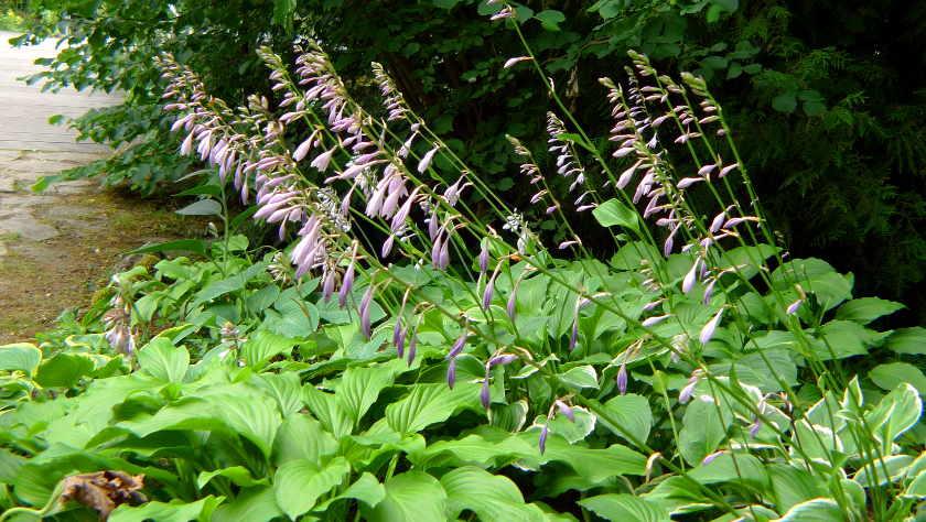 Schatten Standorte Pflanzen Fur Teich Und Garten