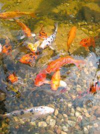 Naturagart shop koi teich online kaufen for Koi und goldfische in einem teich
