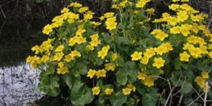 Flachwasser-Pflanzen