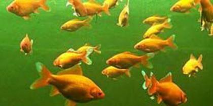 Goldfisch-Teich