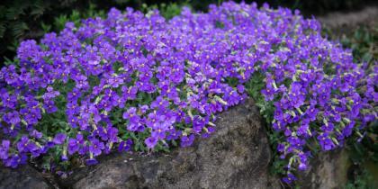 Pflanzen für Steingärten, Mauern und Wege