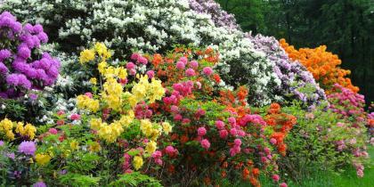 Rhododendron, Azaleen