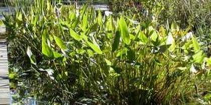 Tiefwasser-Pflanzen