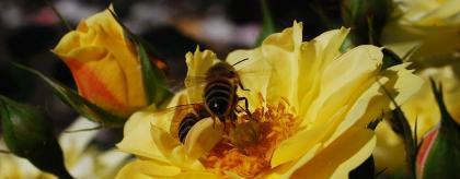 Bienen-Rosen