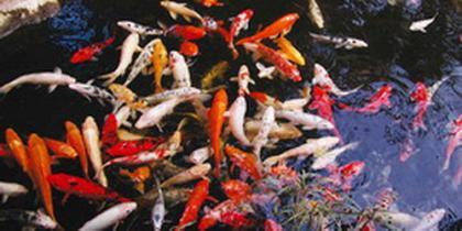 Teichgrößen für Fische