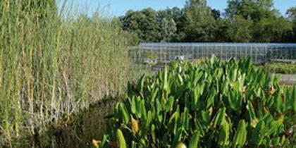 Teichpflanzen für Schwimmteiche