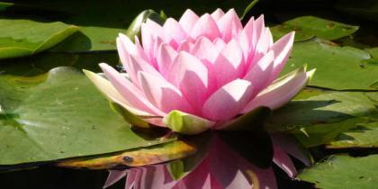 Seerosen Pflanzung und Pflege