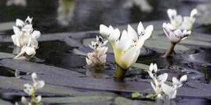 Schwimmblatt-Pflanzen