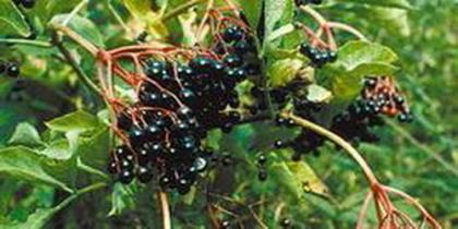 Wildgehölze Einzelpflanzen