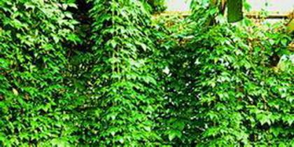 Kletterpflanzen Einzelpflanzen