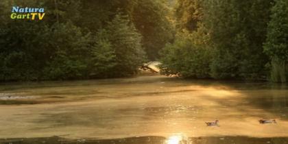 Klares Wasser, wenig Algen im Teich