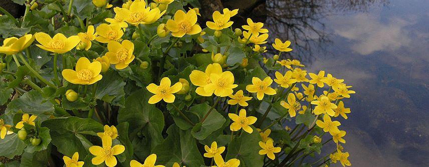 Pflanzen für den Teichrand Gartenteich winterharte Farne bis 4 Meter hoch Teich
