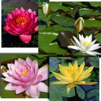 pflegeleichte seerosen-sorten | pflanzen und tiere, Terrassen ideen