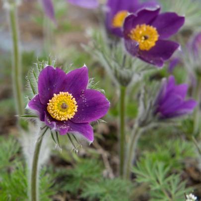 Küchenschelle, violett