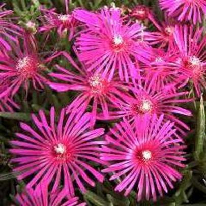 Stauden-Mittagsblume, rosa