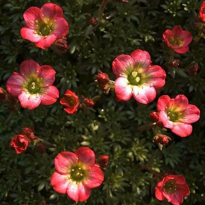 Steinbrech, rosa