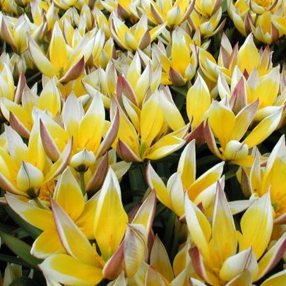 Tarda-Tulpe