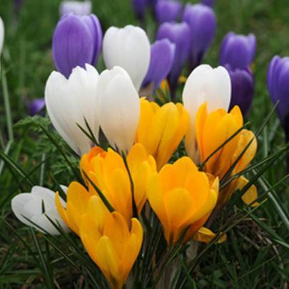 Garten-Krokusse, Farbmischung