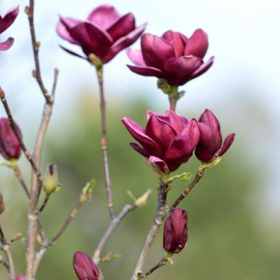 naturagart shop rote tulpen magnolie online kaufen. Black Bedroom Furniture Sets. Home Design Ideas