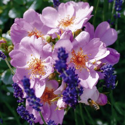 Teichrandrose, rosa