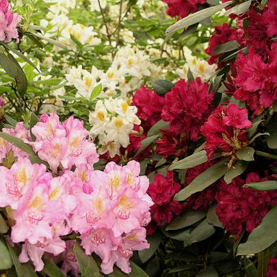 naturagart shop rhododendron sortiment online kaufen. Black Bedroom Furniture Sets. Home Design Ideas