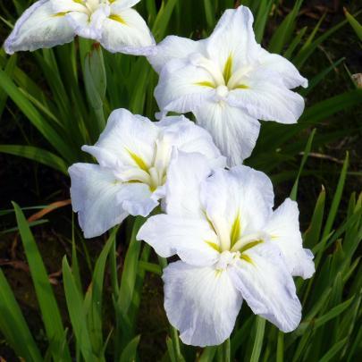 Japanische Iris, weiß