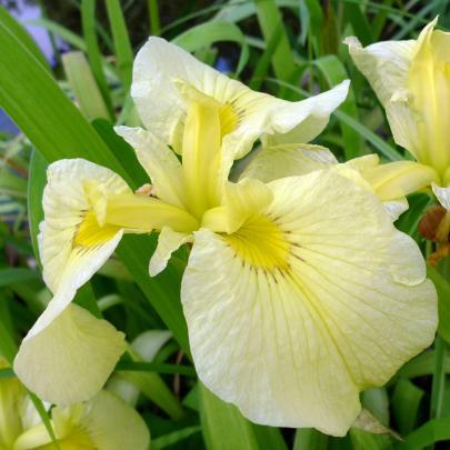 naturagart shop japanische iris hellgelb online kaufen. Black Bedroom Furniture Sets. Home Design Ideas