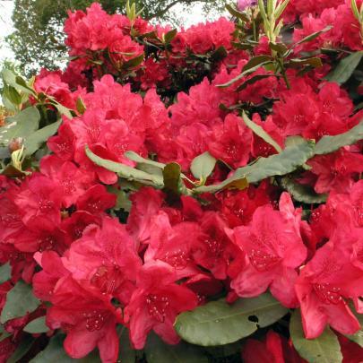 naturagart shop rhododendron rot online kaufen. Black Bedroom Furniture Sets. Home Design Ideas