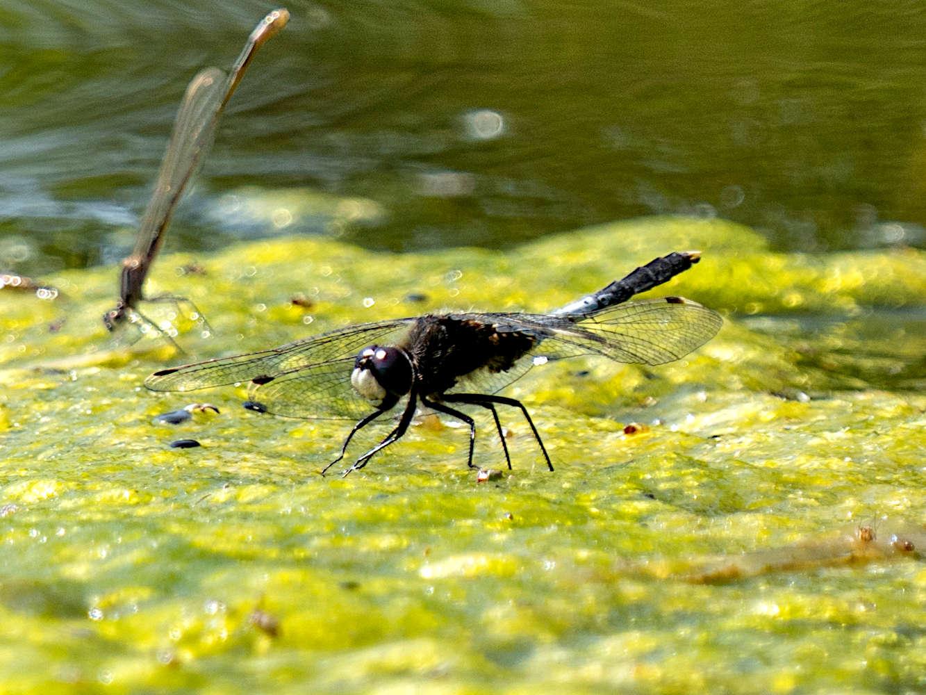 Libellen: Spektakuläre Flugkünstler über dem Wasser