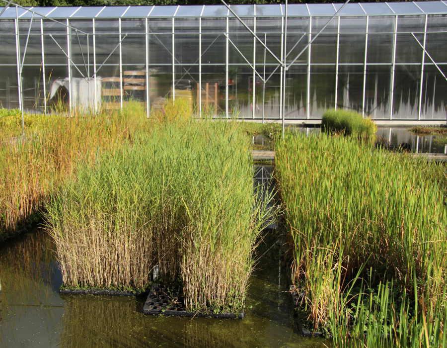 Produktbeschreibung Teichpflanzen