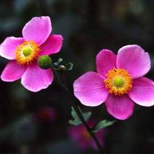 Naturagart Shop Herbst Anemone Rosa Online Kaufen