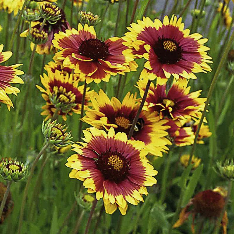 Steingarten astilben dunkelrot online kaufen for Stylische pflanzen