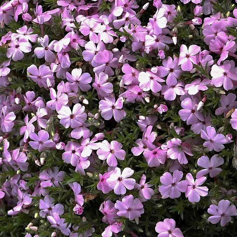 NaturaGart Shop  TeppichPhlox, violettblau  online kaufen