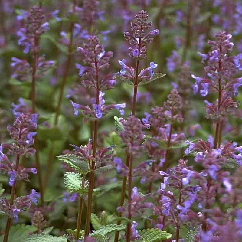 naturagart shop katzenminze violettblau online kaufen. Black Bedroom Furniture Sets. Home Design Ideas