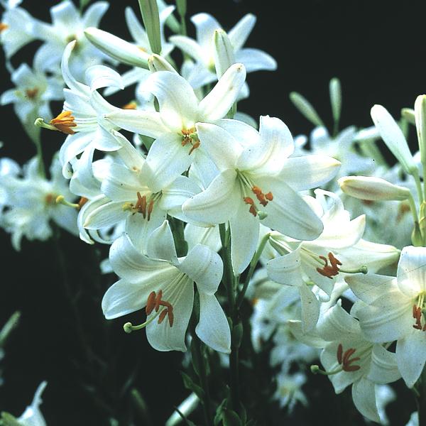 Lilie Topfpflanze Kaufen : naturagart shop madonnen lilie online kaufen ~ Lizthompson.info Haus und Dekorationen