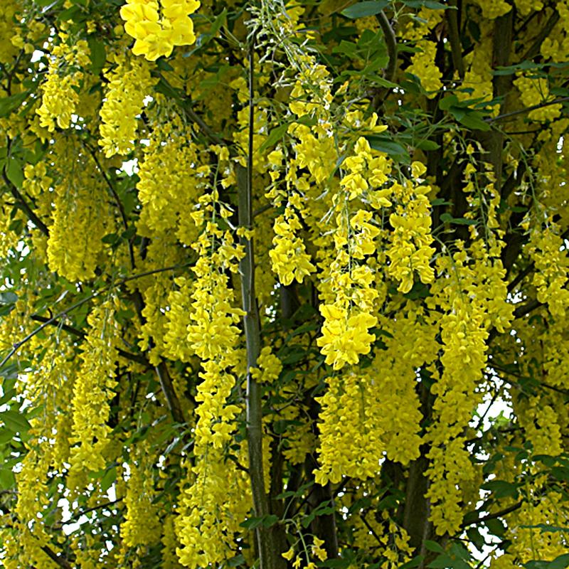 Naturagart shop goldregen online kaufen for Pflanzen bestellen schweiz
