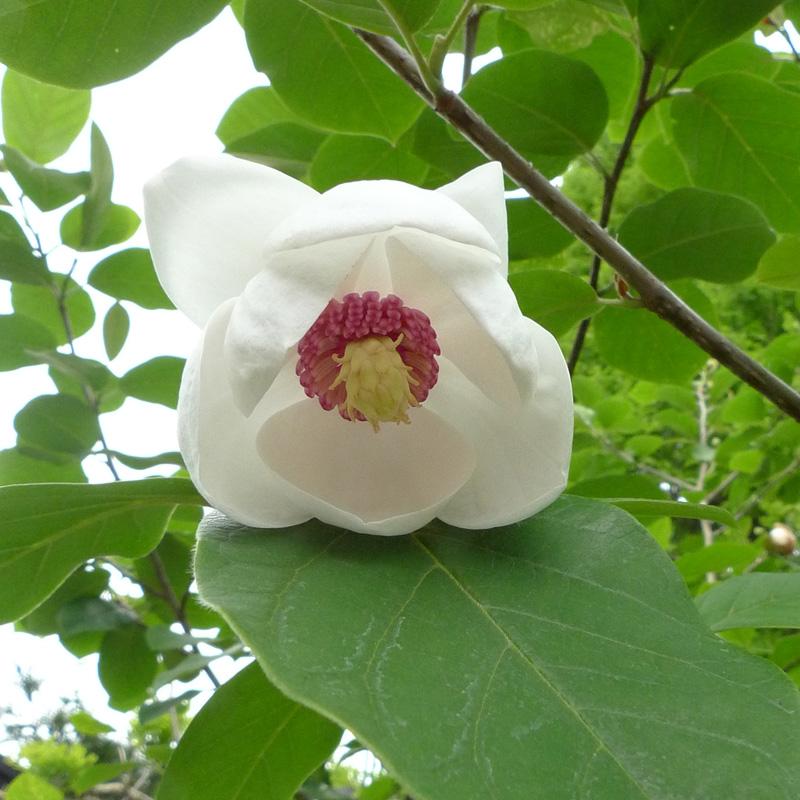 naturagart shop sommer magnolie online kaufen. Black Bedroom Furniture Sets. Home Design Ideas