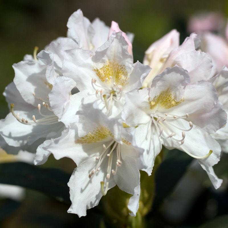 naturagart shop rhododendron inkarho wei online kaufen. Black Bedroom Furniture Sets. Home Design Ideas