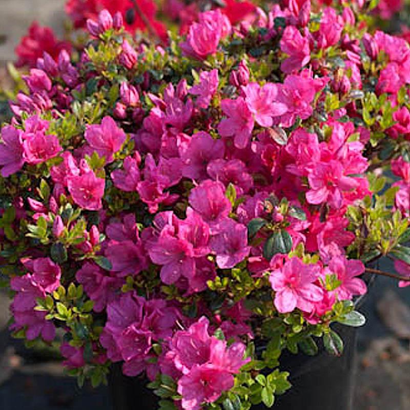 naturagart shop niedrige azalee rosa online kaufen. Black Bedroom Furniture Sets. Home Design Ideas