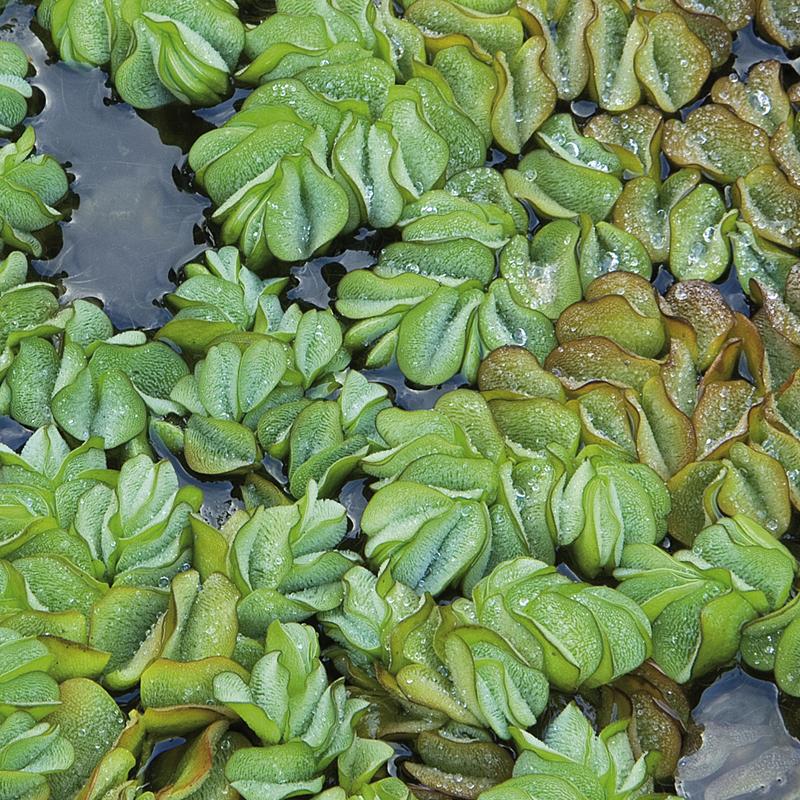 Naturagart shop schwimmfarn pflanzen f r amphibien for Pflanzen shop