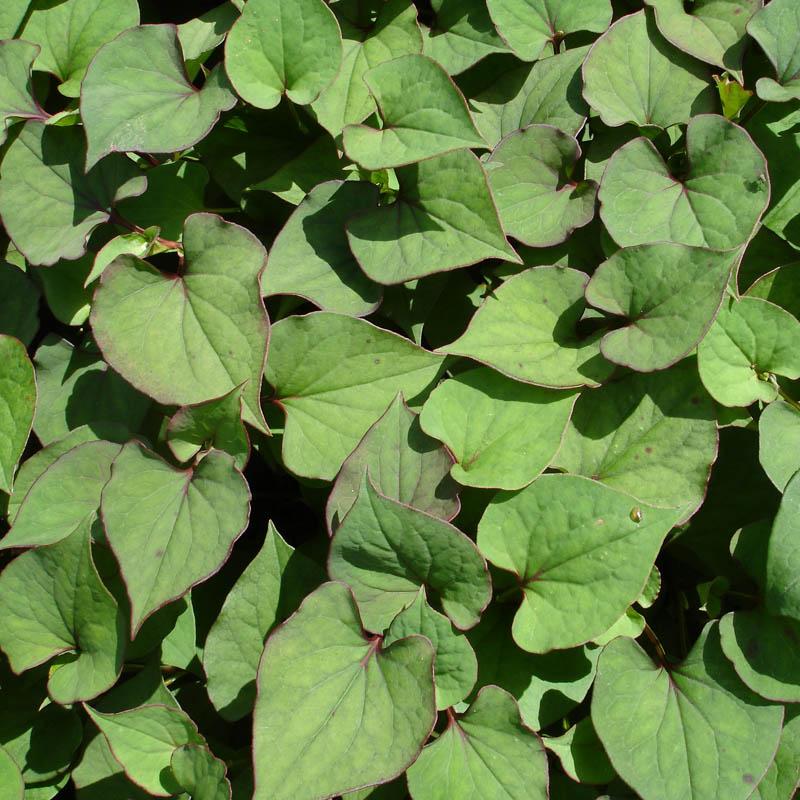 Naturagart shop houttuynie gef llt online kaufen for Pflanzen shop