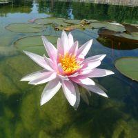 Seerosen gehören zu den beliebtesten Pflanzen im Gartenteich