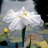 Auch das Umfeld des Gartenteiches kann mit Blumen reich geschmückt werden