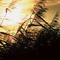 NaturaGart Shop   Tiefwasser-Pflanzen   Teichpflanzen ... Das Schilfrohr